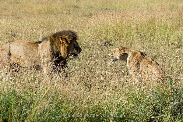 Afrikanischer Löwe, Panthera leo, Männlich, Weiblich, 20140602-_MSF5224