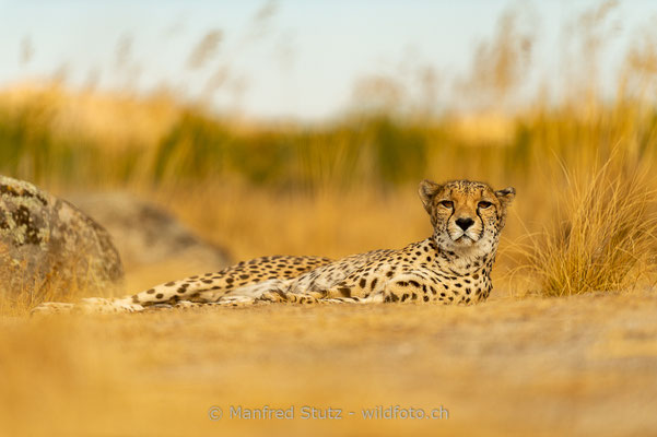 Gepard, Acinonyx jubatus, 20161006-E.2016.001