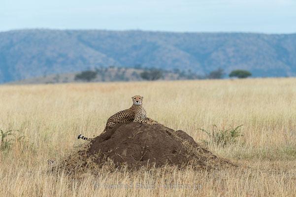 Gepard, Acinonyx jubatus, 20140529-MSF2019