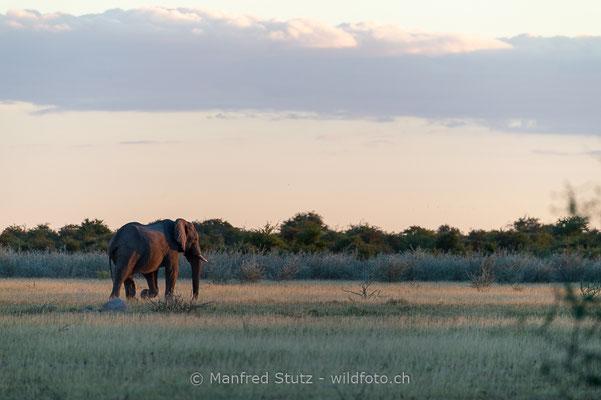 Afrikanischer Elefant, Loxodonta africana, 20150304-MSF0630