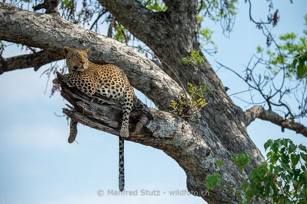 Afrikanischer Leopard, Panthera pardus pardus, 20150310-BW.2015.053