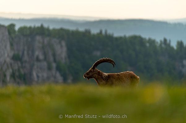 Alpensteinbock, Capra ibex, Steinbock, Männlich, 20180526-20180526-D4D0253