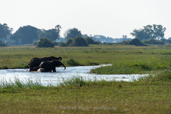 Afrikanischer Elefant, Loxodonta africana, 20130224-MSF2390