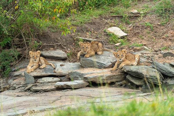 Afrikanischer Löwe, Panthera leo, Jungtiere, _D045049