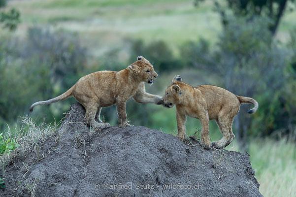 Afrikanischer Löwe, Panthera leo, Jungtiere, 20140603-_MSF6894