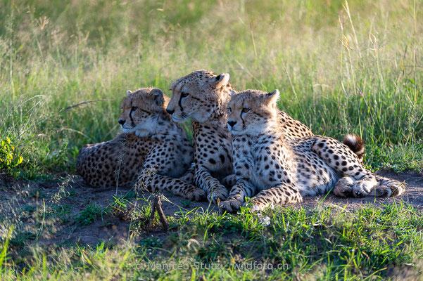Gepard, Acinonyx jubatus, 20160206-D041172