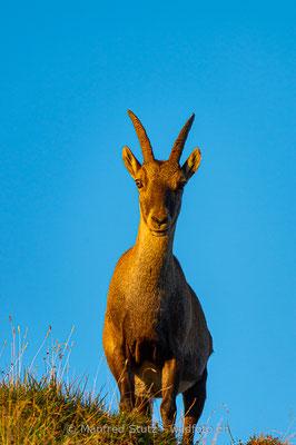 Alpensteinbock, Capra ibex, Steingeiss, Weiblich, 20150829-D041895