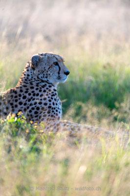 Gepard, Acinonyx jubatus, 20160206-D041000