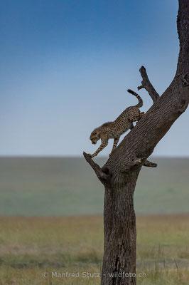 Gepard, Acinonyx jubatus, 20160210-D047178