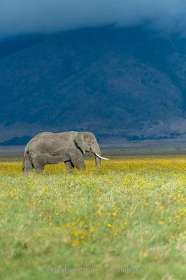Afrikanischer Elefant, Loxodonta africana, 20140526-MSF0348