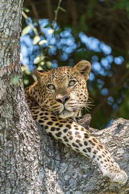 Afrikanischer Leopard, Panthera pardus pardus, 20130224-MSF2262