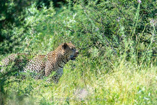 Afrikanischer Leopard, Panthera pardus pardus, 20130224-MSF2179