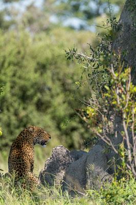 Afrikanischer Leopard, Panthera pardus pardus, 20130226-MSF3006