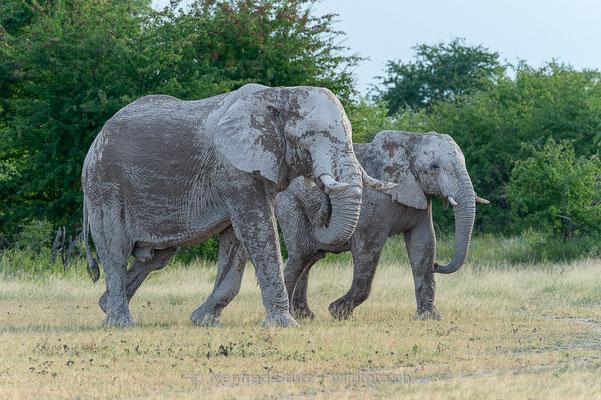 Afrikanischer Elefant, Loxodonta africana, 20150302-MSF9092