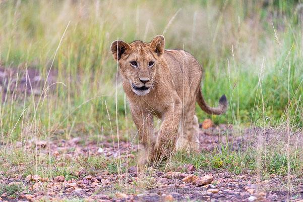 Afrikanischer Löwe, Panthera leo, Jungtier, _D043951