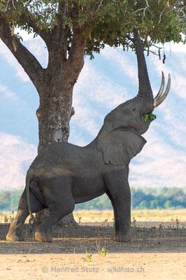 Afrikanischer Elefant, Loxodonta africana, 20131107-MSF0964