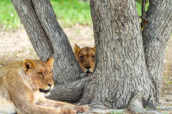Afrikanischer Löwe, Panthera leo, Weiblich, _D4D3483