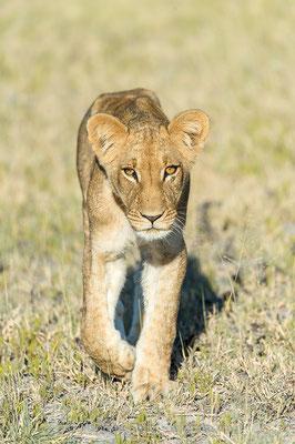 Afrikanischer Löwe, Panthera leo, Jungtier, 20150305-BW.2015.014