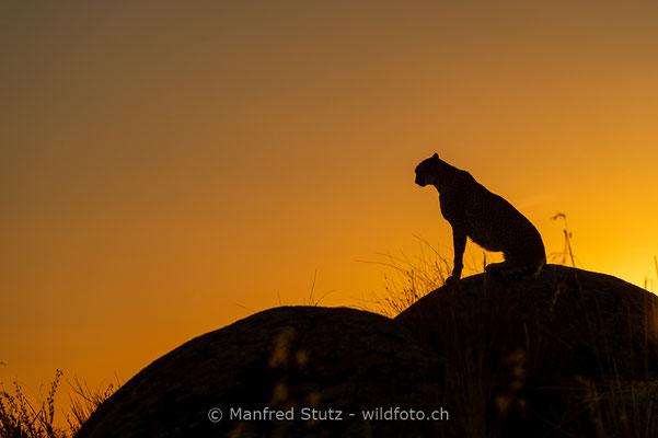 Gepard, Acinonyx jubatus, 20161006-D4D4990