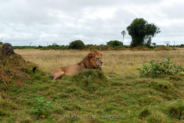 Afrikanischer Löwe, Panthera leo, Männlich, _MSF6421