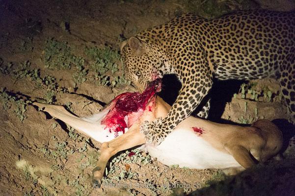 Afrikanischer Leopard, Panthera pardus pardus, 20141026-MSF4500