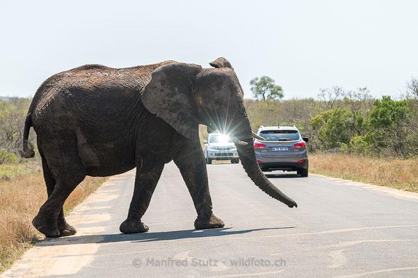 Afrikanischer Elefant, Loxodonta africana, 20120921-MSF4499