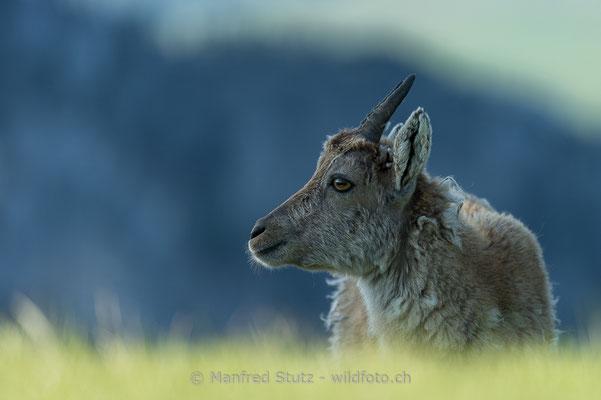 Alpensteinbock, Capra ibex, Jungtier, 20160609-D4D3054