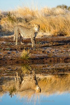 Gepard, Acinonyx jubatus, 20170629-D4D7080