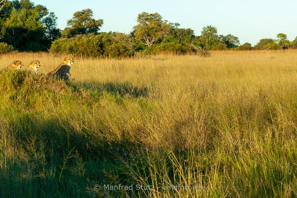 Gepard, Acinonyx jubatus, 20120401-MSF8634