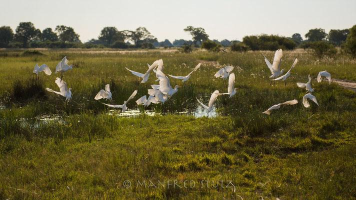 Cattle egrets, Bubulcus ibis, Kuhreiher