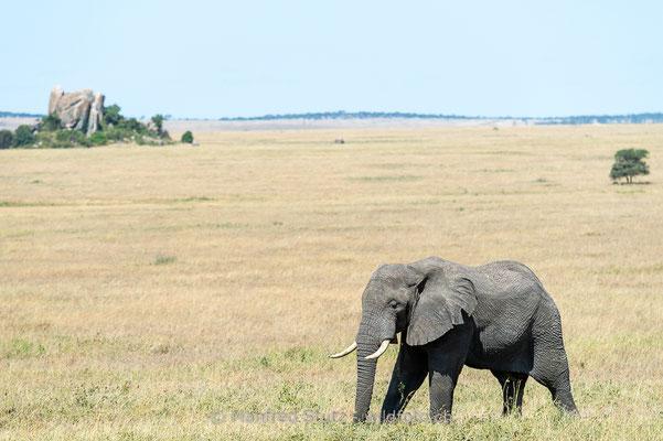 Afrikanischer Elefant, Loxodonta africana, 20140528-MSF1495