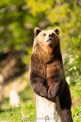 Europäischer Braunbär im Juraparc bei Vallorbe