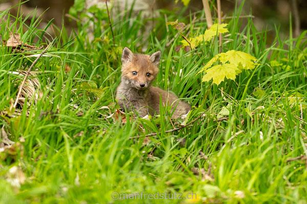 Junger Fuchs im Jurapark Aargau, Kanton Aargau