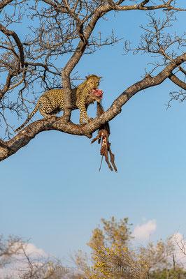 Afrikanischer Leopard, Panthera pardus pardus, 20170701-D4D8982