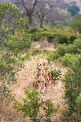 Afrikanischer Löwe, Panthera leo, Weiblich, Jungtier, 20170704-_D4D0820