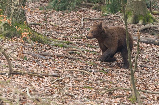 Jungbär im Wildnispark Zürich