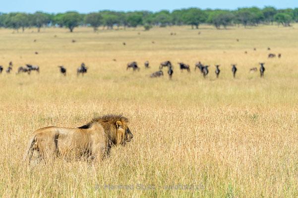 Afrikanischer Löwe, Panthera leo, Männlich, Lebensraum, 20140602-_MSF5270