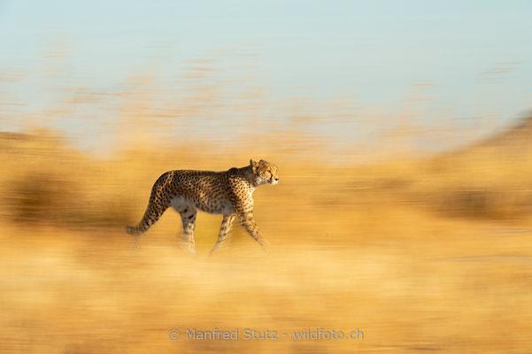 Gepard, Acinonyx jubatus, 20161007-D4D5503