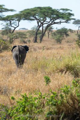 Afrikanischer Elefant, Loxodonta africana, 20140529-MSF2649
