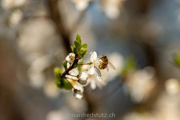 Kirschblüte mit Wildbiene, am Chriesiweg im Fricktal, Aargau