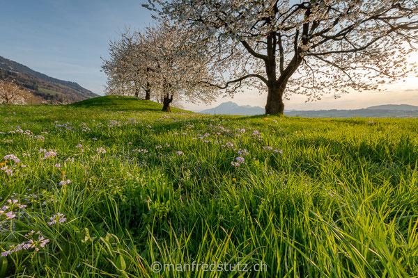 Kirschbäume im Kanton Schwyz