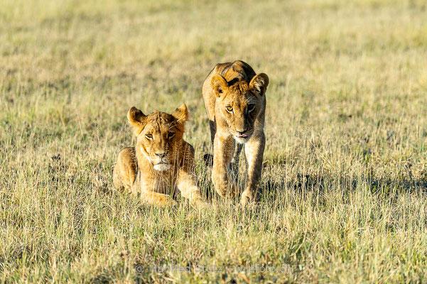 Afrikanischer Löwe, Panthera leo, Jungtiere, _MSF0784