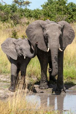 Afrikanischer Elefant, Loxodonta africana, 20120326-MSF5608