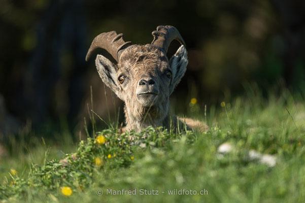 Alpensteinbock, Capra ibex, Steinbock, Männlich, 20160609-D4D3069