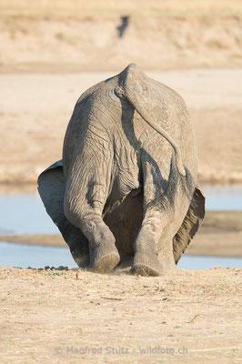 Afrikanischer Elefant, Loxodonta africana, 20141022-MSF2064