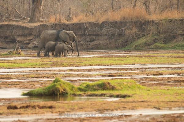 Afrikanischer Elefant, Loxodonta africana, 20141017-MSF0547