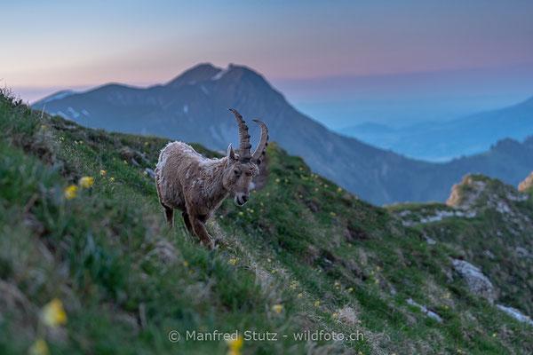Alpensteinbock, Capra ibex, Steinbock, Männlich, 20190601-9292