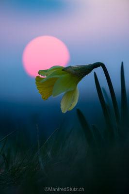 Gelbe Narzisse, Narcissus pseudonarcissus, Vue des Alpes, Neuenburg