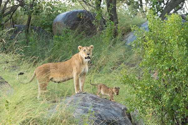 Afrikanischer Löwe, Panthera leo, Weiblich, Jungtier, 20140603-_MSF6048