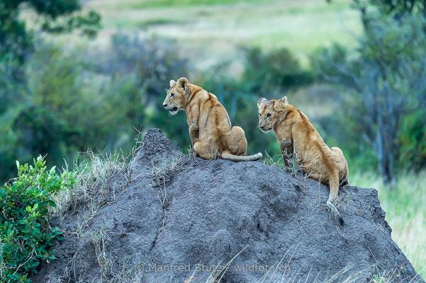 Afrikanischer Löwe, Panthera leo, Jungtiere, 20140603-_MSF6707
